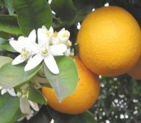 CdT_Maroc_Eau de Fleurs d'Oranger